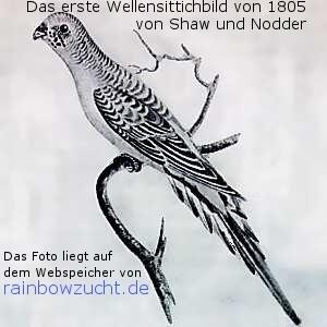 http://www.rainbowzucht.de/Bilder/erste_wellensittichbild_1805_.jpg